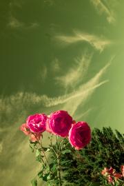 Rose with sky (orange filter)