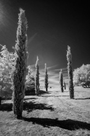 Trees, with infra-red filter