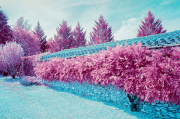 Wisteria, colour infra-red film
