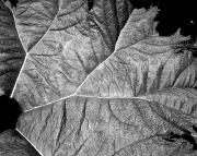 Gunnerea Leaf