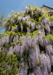 Wisteria at Abbey House Gardens