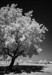 Tree and shadow in infra-red