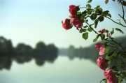 Roses Over The Yonne