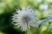 Some Kind of Dandelion